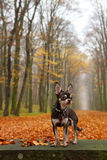 Chihuahua in autumn park Royalty Free Stock Photos