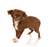Chihuahua baby Stock Photo