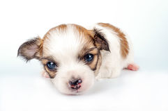 Chihuahua baby close-up Royalty Free Stock Photography