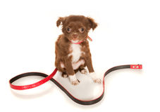 Chihuahua baby with leash Stock Images