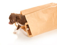 Chihuahua baby in paper bag Royalty Free Stock Images