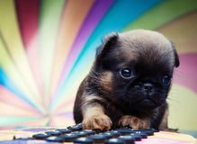 Chihuahua baby puppy dog in studio quality royalty free stock photos