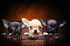 Chihuahua baby puppy dog in studio quality. Postcard royalty free stock photography