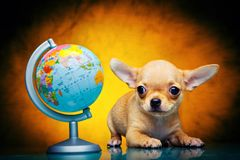 Chihuahua baby puppy dog in studio quality. With globes royalty free stock image