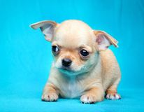 Chihuahua baby puppy dog in studio quality stock photo