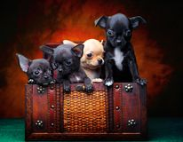 Chihuahua baby puppy dog in studio quality. Postcard stock photos