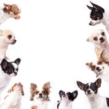 Chihuahua background. Isolate a circle group of chihuahuas looking at the center of picture Royalty Free Stock Images