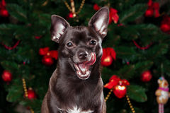 Chihuahua on the background of Christmas tree Royalty Free Stock Photos
