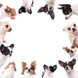 Chihuahua background Royalty Free Stock Image
