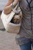 Chihuahua in the bag Stock Photos