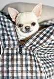 Chihuahua in bag Royalty Free Stock Photos