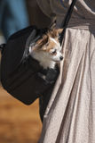 Chihuahua in a bag. Royalty Free Stock Images