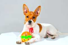 Chihuahua with a ball Stock Photography