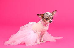Chihuahua ballerina dog Royalty Free Stock Photography