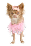 Chihuahua ballerina isolated. Chihuahua puppy with pink ballerina dress isolated Stock Photos