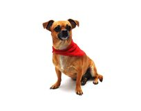 Chihuahua with Bandana Stock Photography