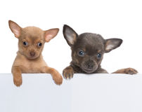 Chihuahua banner Stock Image