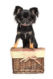 Chihuahua in basket Royalty Free Stock Image