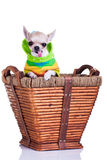 Chihuahua in a basket Stock Photo