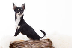 Chihuahua in basket. Happy dog photographed in the studio on a white background stock photo