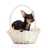 Chihuahua in basket isolated on white background dog Stock Photo