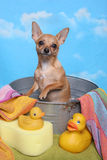 Chihuahua in a bath tub Stock Images