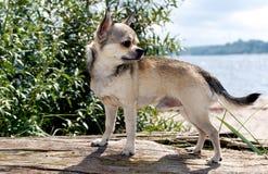 Chihuahua at the beach Stock Photo