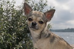 Chihuahua at the beach Stock Photography