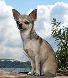 Chihuahua at the beach Royalty Free Stock Photos