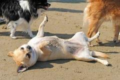 Chihuahua on the beach Stock Photo