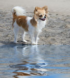 Chihuahua on the beach Stock Photos