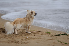 Chihuahua at the beach Stock Photos