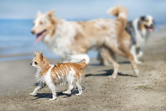 Chihuahua on beach Royalty Free Stock Image
