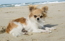 Chihuahua on the beach Stock Images