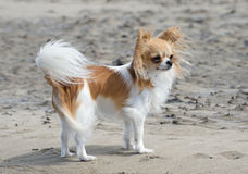Chihuahua on the beach Royalty Free Stock Photos