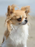 Chihuahua on the beach Royalty Free Stock Image