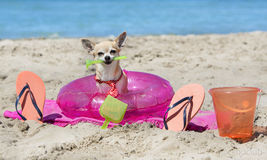 Chihuahua on beach Royalty Free Stock Images