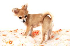 Chihuahua in the bed Royalty Free Stock Photo