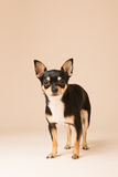 Chihuahua on beige background Stock Photography