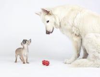 Chihuahua bianca dei capelli di scarsità e del pastore che gioca con il giocattolo rosso Fotografia Stock