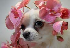 Chihuahua bianca della razza del cane con i fiori rosa dell'orchidea fotografie stock libere da diritti