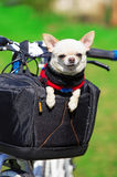 Chihuahua in a bicycle bag Stock Photo