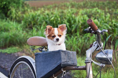 Chihuahua on bicycle royalty free stock photo