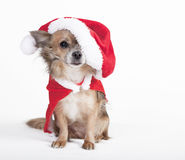 Chihuahua with big santa hat Royalty Free Stock Photos