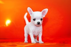 Chihuahua blanca del perrito en la playa hermosa Puesta del sol fotografía de archivo