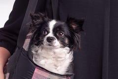 Chihuahua blanco y negro del perro de los accesorios Fotografía de archivo