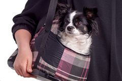 Chihuahua blanco y negro del perro de los accesorios Foto de archivo libre de regalías
