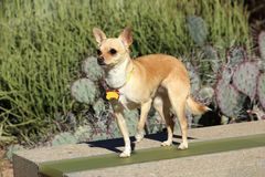 Chihuahua with blank dog tag. A dog, chihuahua, standing on a desert background and wearing a collar with a blank tag Royalty Free Stock Photos