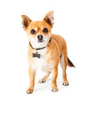 Chihuahua with blank dog tag. Chihuahua dog standing and wearing a collar with a bone print on it and a blank tag Royalty Free Stock Photos