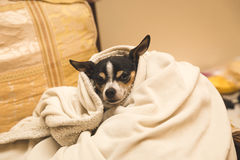 Chihuahua in a blanket. Adult chihuahua wrapped in up cozy blanket inside a home Stock Photo